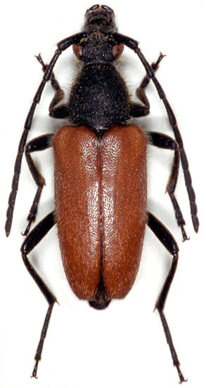Paracorymbia excisipes