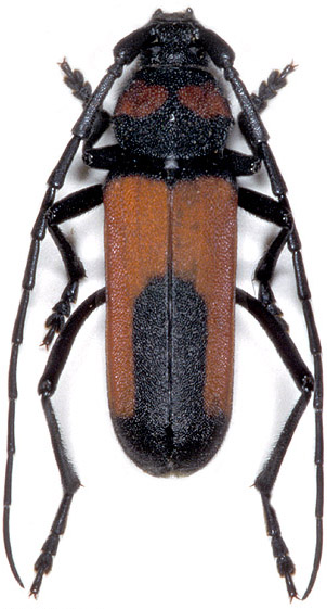 Purpuricenus interscapillatus interscapillatus